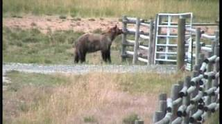 Video Grizzly Bear chased off by cows Yellowstone MP3, 3GP, MP4, WEBM, AVI, FLV September 2017
