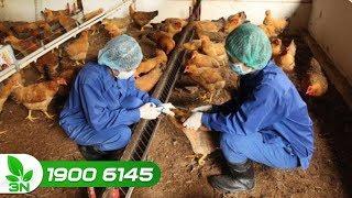 Chăn nuôi gà | Tiêm vacxin khi gà đang bị bệnh: Nên hay không?