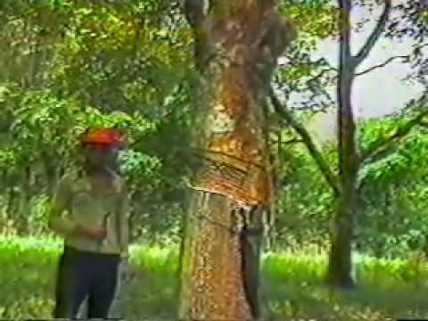 cultivo de caucho - Programa Dominicano
