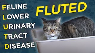 Feline Lower Urinary Tract Disease (FLUTD) - VetVid Episode 008