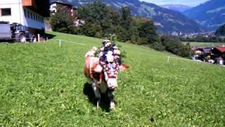 Hippach Austria  city images : Almabtrieb cow in field in Hippach, Austria Sep 24, 2011