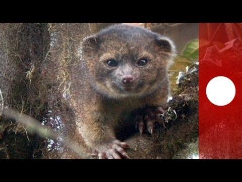 scoperta una nuova specie di mammifero terrestre: l'olinguito!