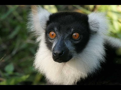 Lemurs of Madagascar HD