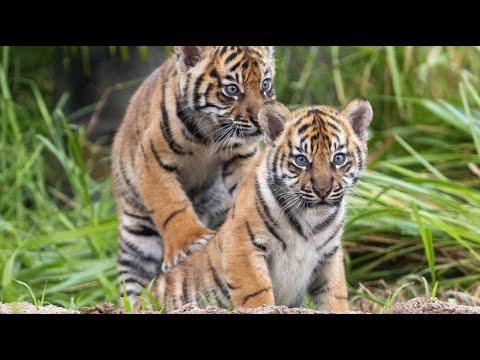 Sydney/Australien: Baby-Sumatra-Tiger erkunden Außenge ...