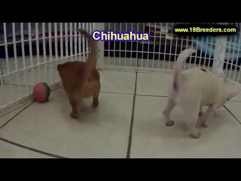 Chihuahua, Puppies For Sale, In, Nashville, Tennessee, TN, County, 19Breeders, knoxville, Smith