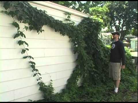 Brewing TV – Episode 12: Backyard Hop Crop Report 2010