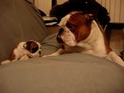 When Father Meets Daughter For The First Time, But These Are Bulldogs