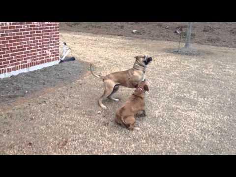 Roscoe The Presa Canario Attacked by Neighbor Barney