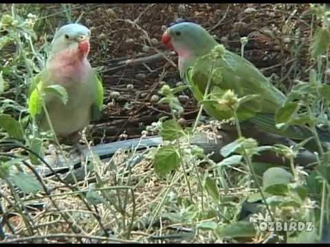 Princess Parrot – 2