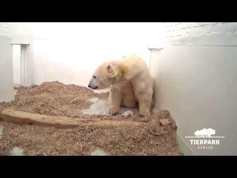 Berliner Eisbär-Baby ist tot - Trauer im Tierpark