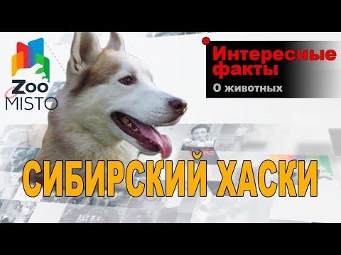 Сибирский Хаски - Интересные факты о породе