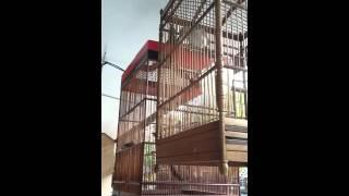 Srigunting vs koak raja vs koak kikok vs jagal papua..