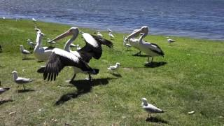 Gorokan Australia  city photo : Pelican and Seagull Feeding, Wallarah Peace Park, Gorokan - NSW, Australia
