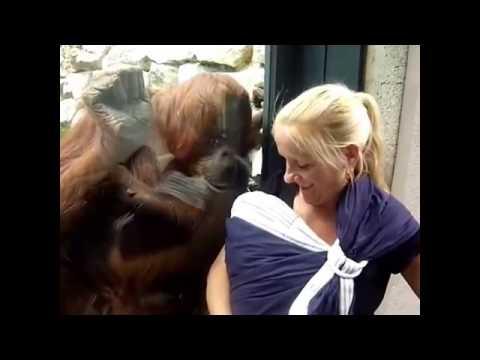 大猩猩看到女生懷中有個寶寶,好像鄰居大嬸一樣:給我看看!