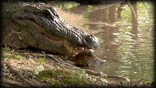 Alligator Eats Rat Alive 01 - Animal Attack