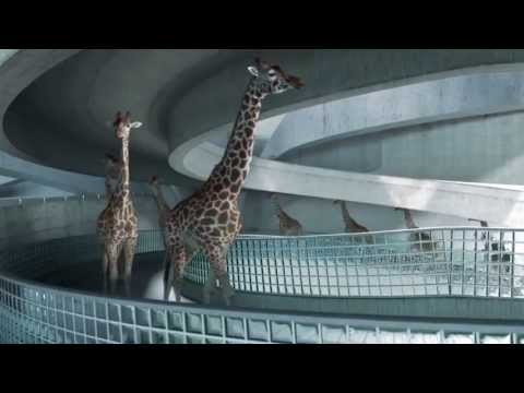 Super Performance: High Diving Giraffes