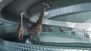 Le fabuleux film d'animation des girafes à la piscine