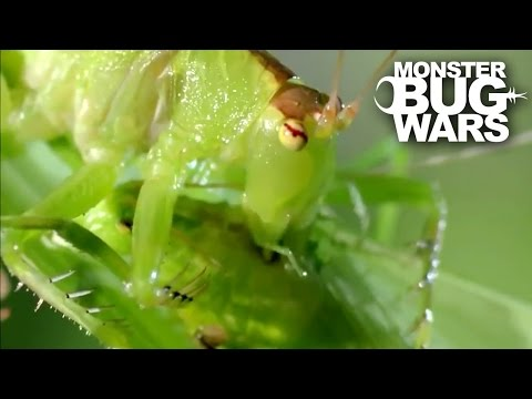 Balloon Winged Katydid Vs Tree Centipede | MONSTER BUG WARS