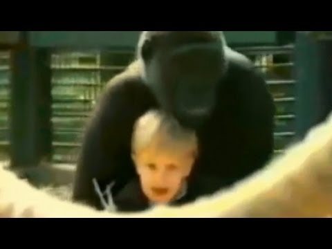 Gorilla - Damian Aspinall discusses a viral video of his daughter and a 300-pound gorilla. For more on gorillas, click here: http://abcnews.go.com/blogs/headlines/2012...