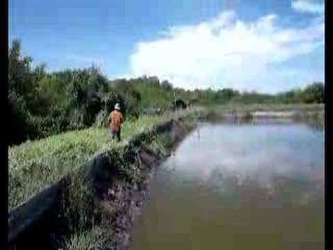 Mud Crab farm in Malaysia( Havesting) stac.com.my