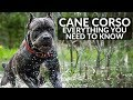 Cane Corso 101! Everything You Need To Know About Owning a Cane Corso Puppy
