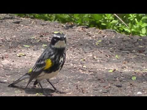 yt:stretch=16:9 - Yellow-rumped Warbler - my new friend Music by Yvalain @jamendo.com Filmed by my35Xvision.