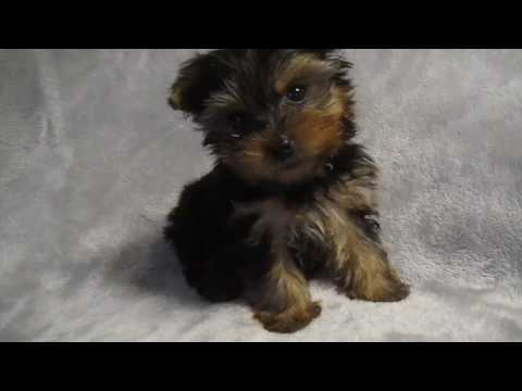 Teacup male Yorkie puppy