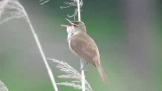 オオヨシキリの囀り-Greatreedwarbler-