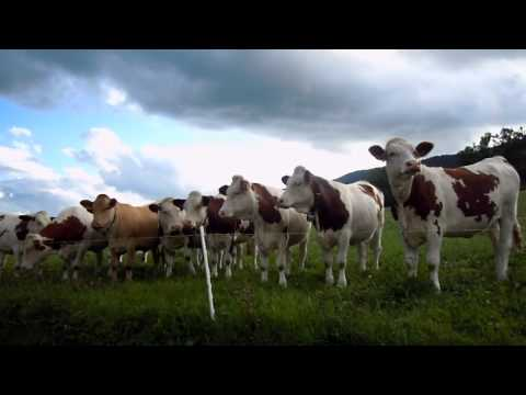 Cow Concert (unedited) – Part 1