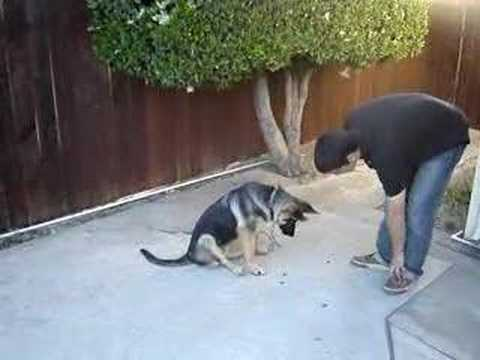 Four Month Old German Shepherd Training Video
