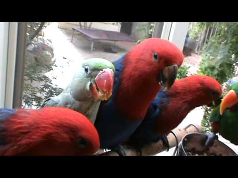 Feeding time – Alexandrine and Eclectus baby parrots