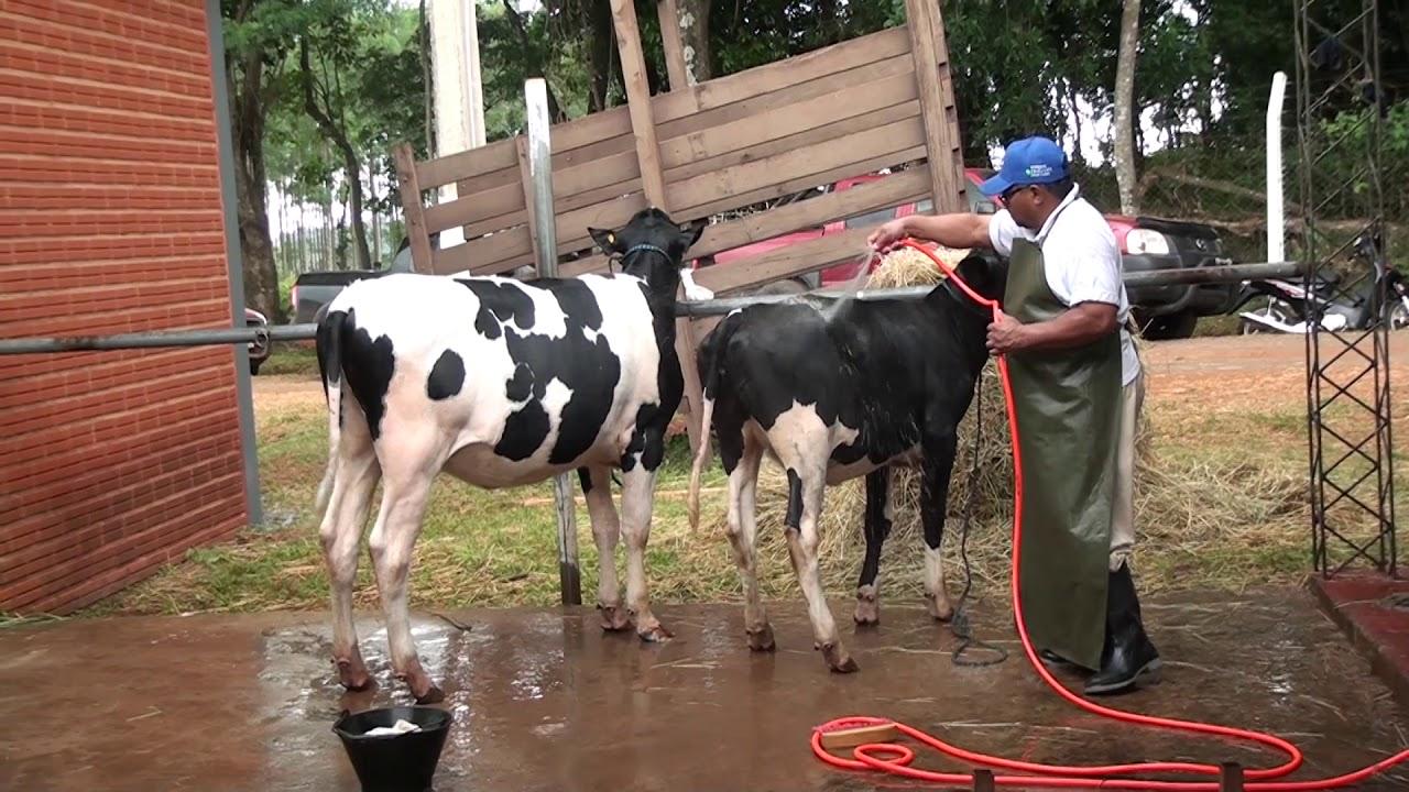 Preparación de vacas lecheras para exposición