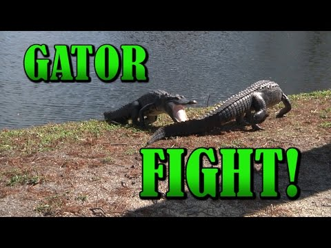 Two gators fighting!
