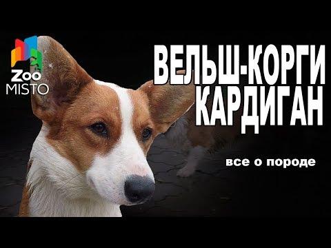Вельш-Корги Кардиган - Все о породе собаки