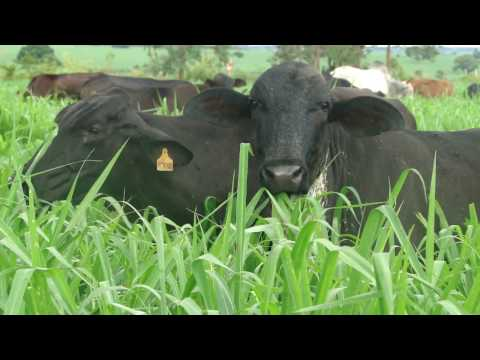 Vacas em Área de Pastejo Rotacionado de Mombaça