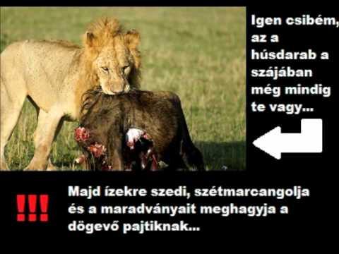 Az igazi oroszlánok