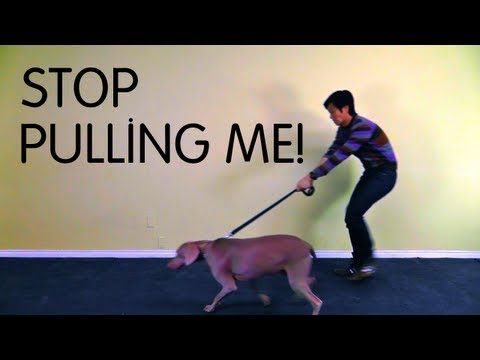 stopping your dog from pulling - ALL COURSES $15 TILL BLACK FRIDAY https://www.udemy.com/politeleashwalking/?couponCode=YTBLACKFRIDAY This course is designed to teach you how to train your d...