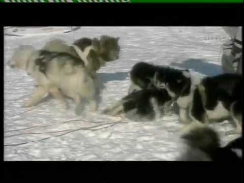 WOLVES VS HUMANS & SLED-DOGS