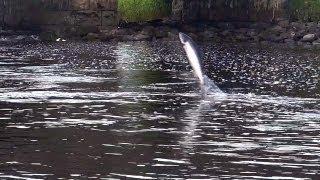 Wild Atlantic salmon run in Drowes Fishery, Ireland. Ход лосося из моря в реку. HD.