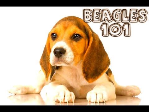 beagles: what to expect when you get one! exclusive shooting!