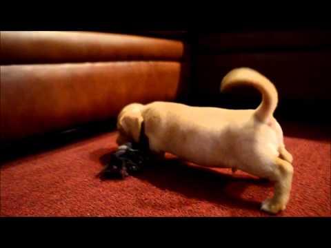 Teddy English Cream Miniature Dachshund Puppy for sale