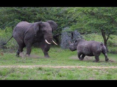 Elephant vs Rhino real Fight to Death - Wild Animals Attack
