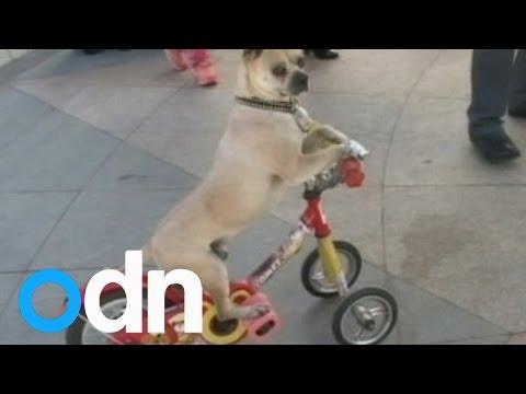 Tällä koiralla on talenttia!