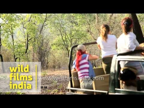 Video Tourists watch a tiger during Jeep safari in Bandhavgarh national park download in MP3, 3GP, MP4, WEBM, AVI, FLV January 2017