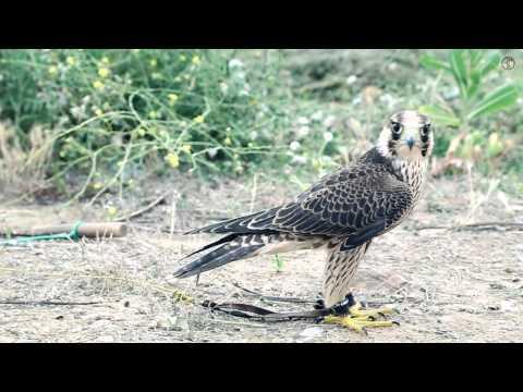 Falcão peregrino picado na primeira semana a voar solto Portugal)