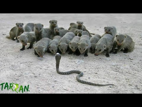 Most Spectacular Mongoose Hunting King Cobra Poison - Snake vs Mongoose Fight to Death