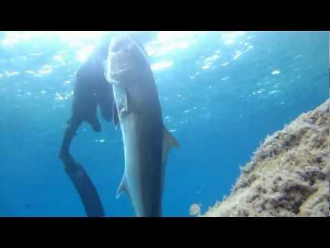 chasse sous marine grosse seriol en corse
