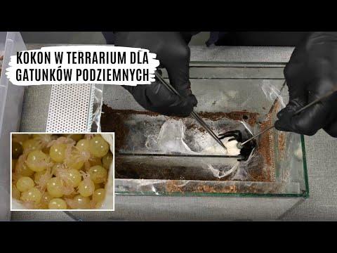 Odbieranie kokonów z terrariów dla gatunków podziemnych | arent.pl