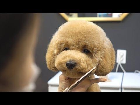 아기 푸들 배냇 첫미용 스포팅 귀툭튀 / dog pet baby poodle first grooming - Thời lượng: 3 phút, 16 giây.