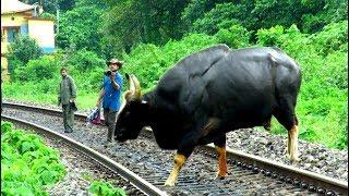 Video Indian Gaur crossing Railway Track. MP3, 3GP, MP4, WEBM, AVI, FLV Juli 2017